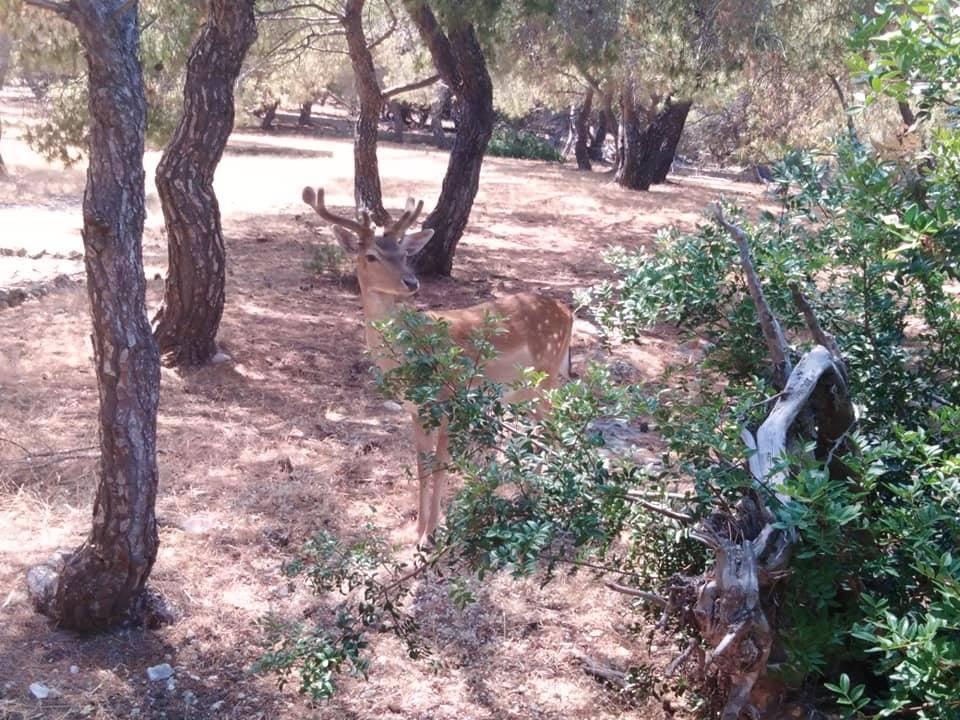 Egina Grecia Cerbiatto
